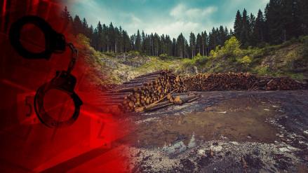 Слідами чорних лісорубів – як буквально на очах зникає карпатський ліс